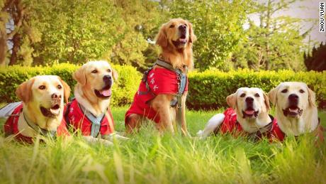 More than 20 guide dogs graduate from the China Dalian Guide Dog Training Center each year.