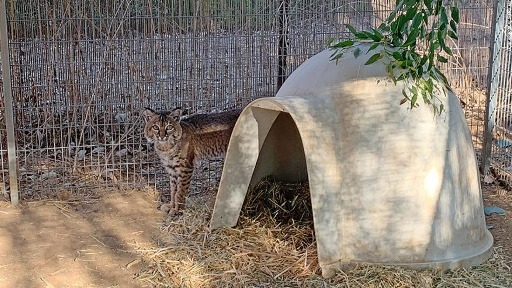 Bobcat rescued from the California wildfires treated for burns, released back into the wild