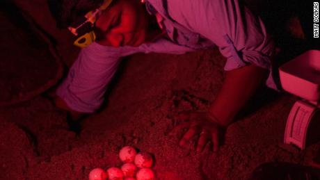 Pheasey and her team inserted the fake eggs into turtle nests during the night.