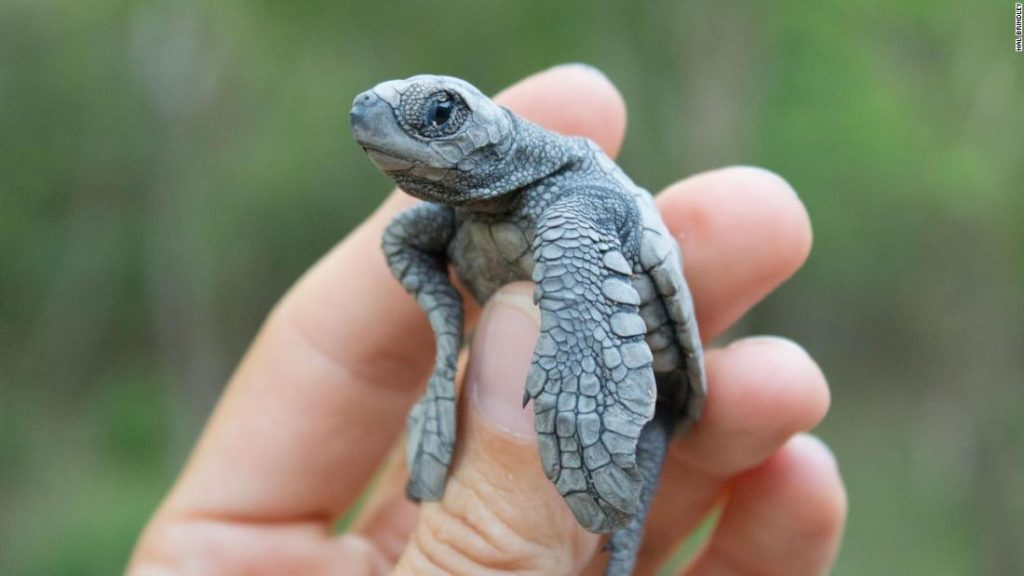 Fake turtle eggs used to track illegal wildlife trade