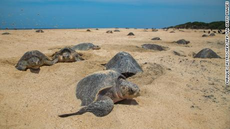 Olive ridley turtles come to shore to lay their eggs, burying them in deep chambers in the sand.