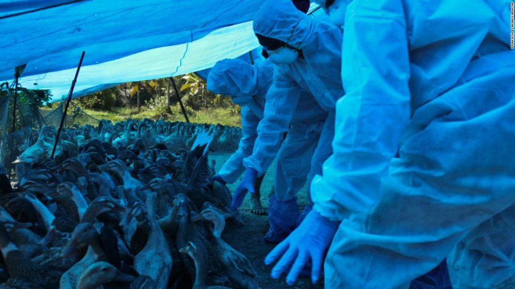 India begins mass bird cull in response to avian flu outbreak
