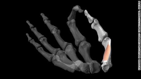 Thumbs gave human ancestors a 'formidable' advantage