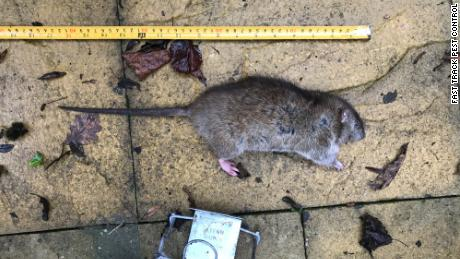 Paul Claydon says it's not uncommon for him to catch a rat measuring 40 centimeters (15.7 inches).