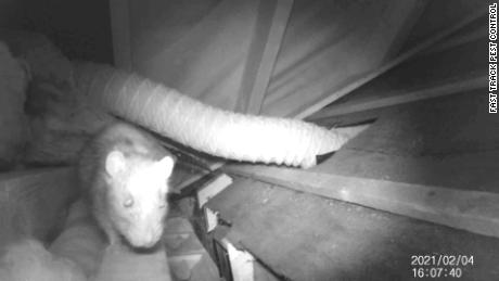 Exterminators say that rats are migrating to more residential areas in search of food during lockdown.