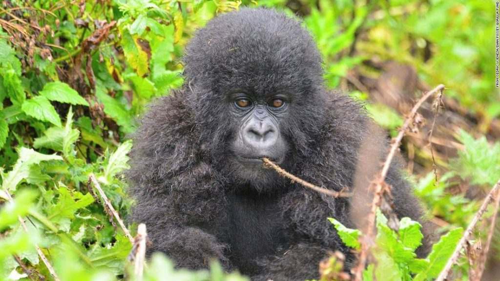Reddit's WallStreetBets community is pouring money into saving gorillas