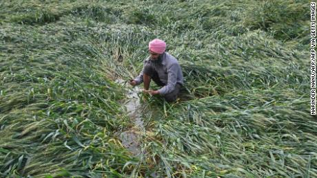 Wheat is damaged near Amritsar after heavy rains moved through the region on March 23, 2021.