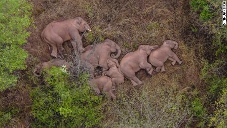 Millions of people in China can't stop watching a pack of wandering elephants